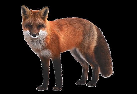 Humane Fox Removal
