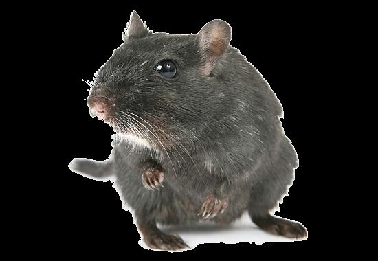Rat & Mice Extermination